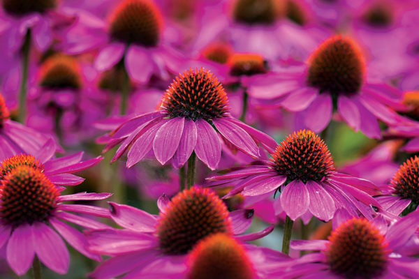 Herbal Healing: Echinacea