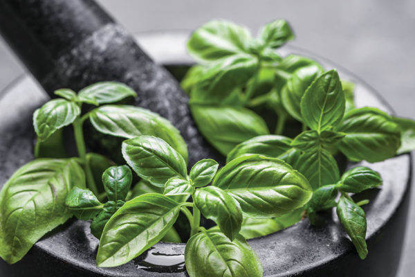 Herbal Healing: Holy Basil