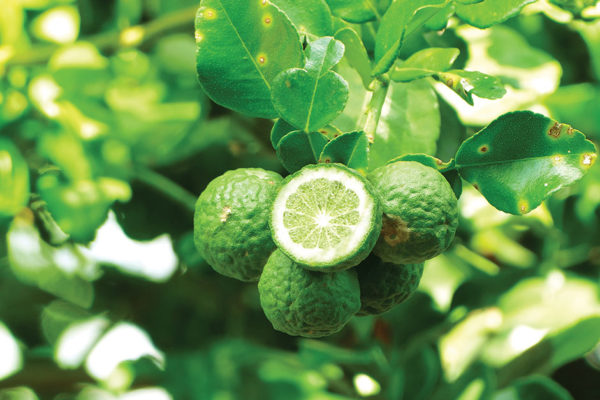 Herbal Healing: The Many Names of Bergamot