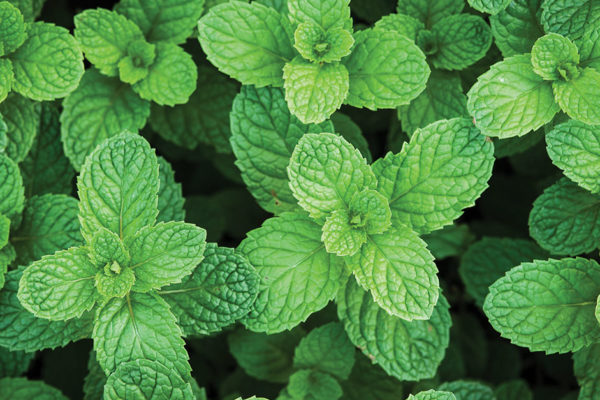 Herbal Healings: Peppermint's Zing