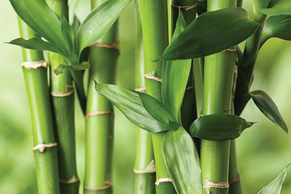 The Bamboo that Doesn't Break